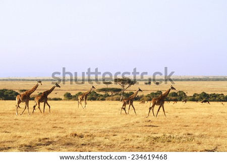 Giraffes (Giraffa camelopardalis) on the Maasai Mara National Reserve safari in southwestern Kenya. - stock photo