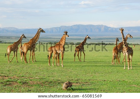 Giraffes herd in the african savannah