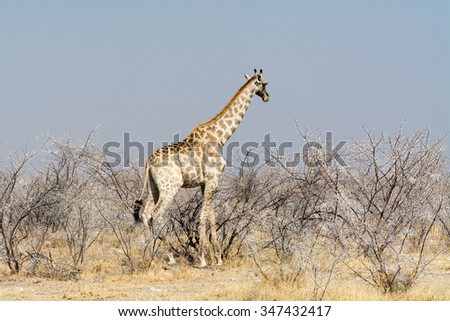Giraffes in Acacia Field