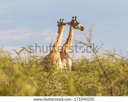 Giraffes in Etosha national park, Namibia, Africa - stock photo