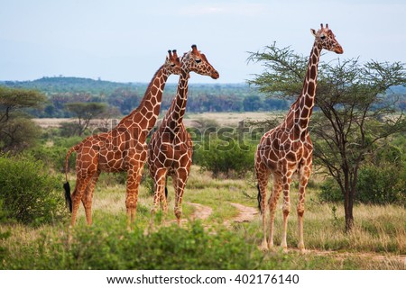 Giraffes in Kenya - stock photo