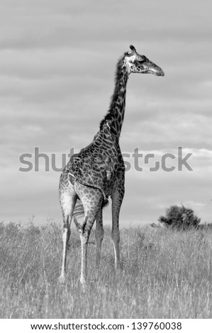 Giraffes in Masai Mara National Park - Kenya (black and white) - stock photo