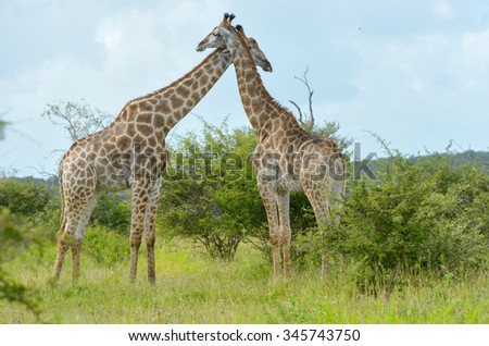 Giraffes in savanna, Kruger national park, South Africa  - stock photo