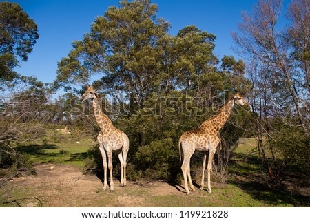 Giraffes in South Africa - stock photo