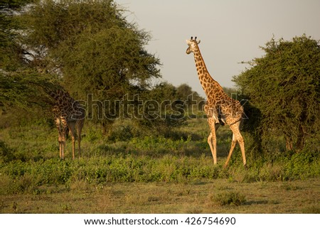 Giraffes in the african savanna - stock photo