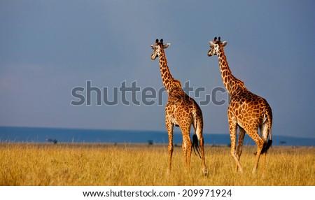 Giraffes in the Masai Mara National Reserve - Kenya - stock photo