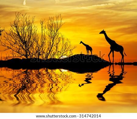 giraffes in the mountain - stock photo