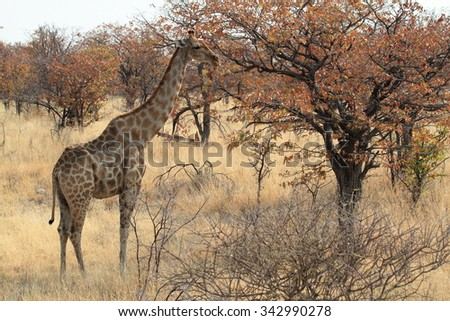 Giraffes in the savannah of Namibia