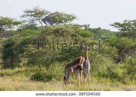 Giraffes in the Serengeti National Park, Tanzania  - stock photo