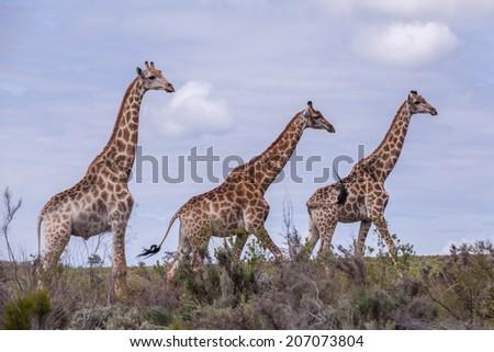 Giraffes in the veldt - stock photo