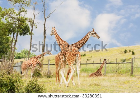 Giraffes in the Wild