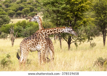 Giraffes in the Wild  giraffes wildlife animals together affections in their grassland habit wilderness reserve terrain. - stock photo