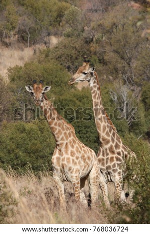 Giraffes in the wild; Limpopo South Africa
