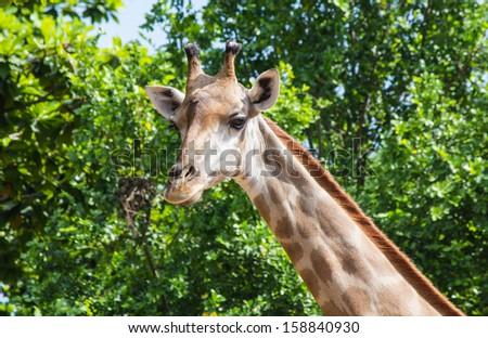 Giraffes in the zoo. - stock photo