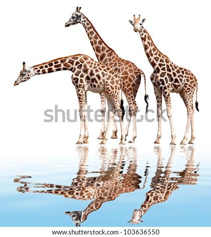 giraffes isolated - stock photo