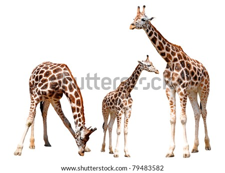 giraffes isolated - stock photo