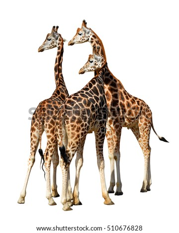 Giraffes isolated on a white background.