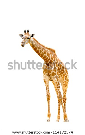 giraffes isolated on white background - stock photo