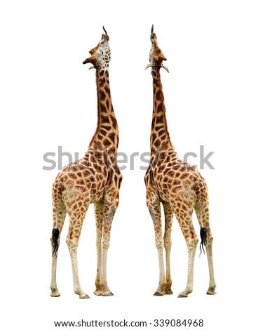 Giraffes isolated on white background  - stock photo