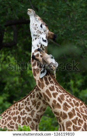 Giraffes necking each other - stock photo