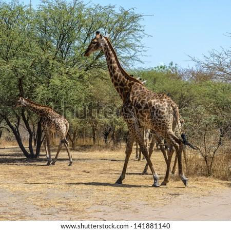 Giraffes of Senegal - stock photo