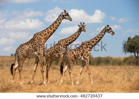 Giraffes on african savannah