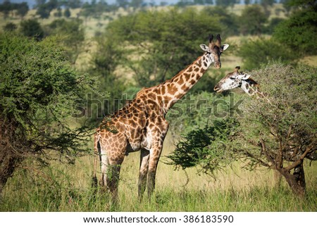 Giraffes on the african savannah