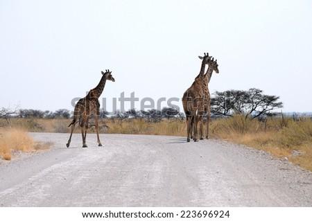 Giraffes on the road in Etosha national park, Namibia, Africa - stock photo