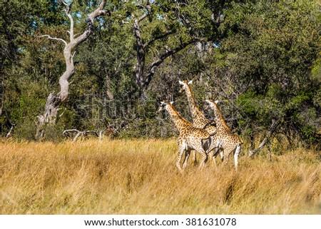 Giraffes running in african forest. Moremi game reserve, Botswana. - stock photo