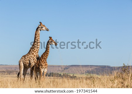 Giraffes Two Affections Wildlife Animals  Two giraffes wildlife animals together affections in their grassland habit wilderness reserve terrain. - stock photo