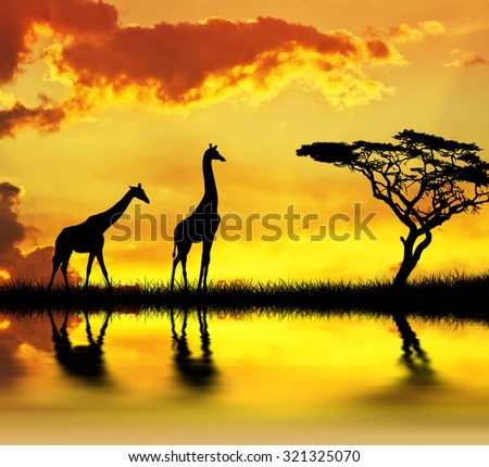 giraffes walking by the lake - stock photo