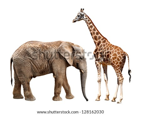 giraffes with elephant isolated on white - stock photo