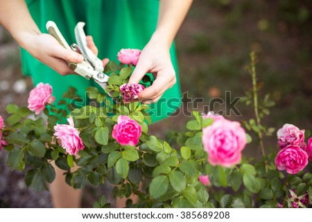 Girl cuts or trims the  bush (rose) with secateur in the garden - stock photo