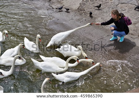 Girl feeds the swans on the lake