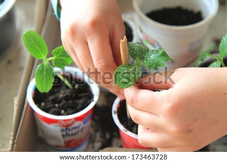 Girl is planting cucumber