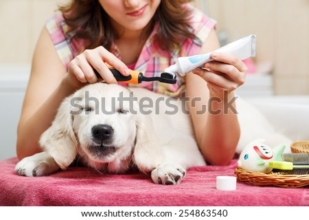 Girl owner is cleaning teeth of retriever puppy after shower - stock photo