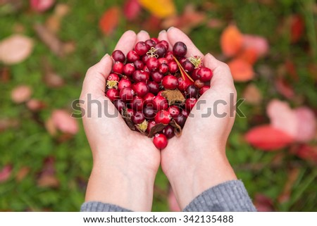 Girl picking berries in the woods. She carried a handful of red cranberries. Rain, after the rain. Damp and humid. Those girls are not visible, only the hands, palms. - stock photo