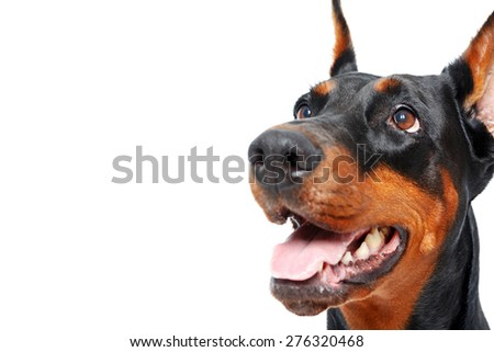 Give me this. Close up of doberman pinscher with opened mouth on isolated white background - stock photo