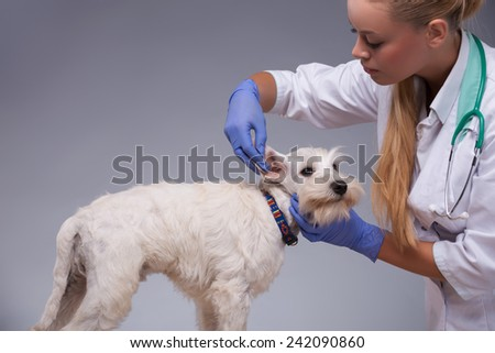 Giving him a thorough check up. Cropped shot of a vet trying intently to examine ears of a terrier dog while standing against grey background