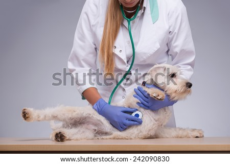 Giving the dog a thorough check-up. Closeup of a female vet checking a very cute terrier dog with stethoscope while standing against grey background - stock photo