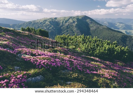 Glade mountain flowers. Sunny day in good weather. Carpathians, Ukraine, Europe. Color toning. Low contrast. Instagram effect - stock photo