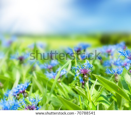Glade of cornflowers and green grass. - stock photo