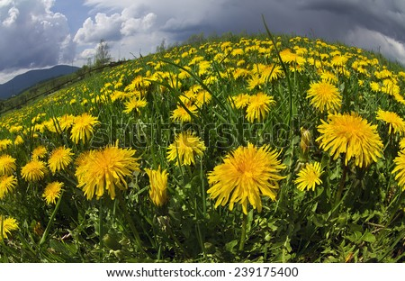 Glade Spring and summer flowers-dandelions under a clear sky with bright clean clouds pleases viewer saturated colors  freshness of a new day. After the storm and rain especially bright foliage color - stock photo
