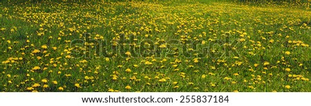 Glade Spring and summer flowers-dandelions under a clear sky with bright clean clouds pleases viewer saturated colors and the freshness of a new day. After the storm and rain especially  foliage color - stock photo