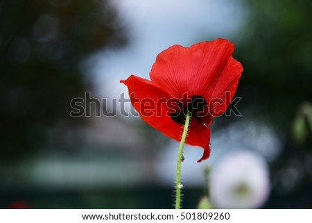 poppy stock images, royaltyfree images  vectors  shutterstock, Beautiful flower
