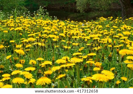 Glade with lots of blooming dandelions. - stock photo