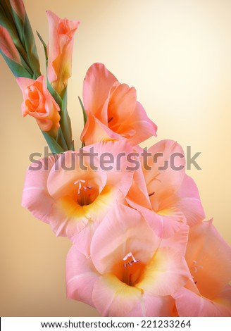 Gladiolus branch with blossoming peach flowers gently with a yellow center and closed buds closeup isolated on beige backdrop. Close-up view with space for text - stock photo