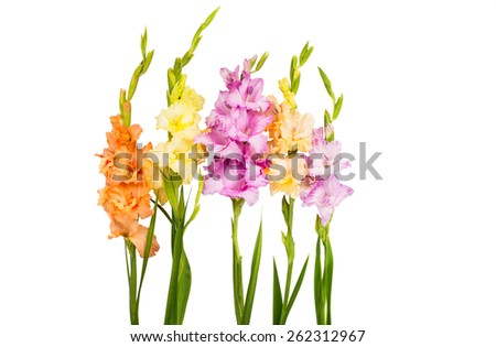 Gladiola Stock Images, Royalty-Free Images & Vectors | Shutterstock