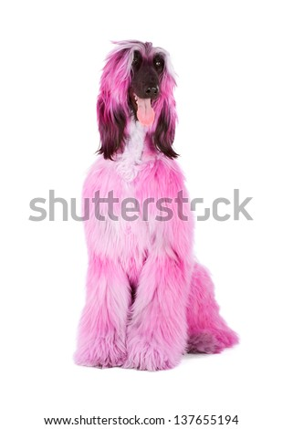 Glamour Afghan Hound unreal pink fur - stock photo