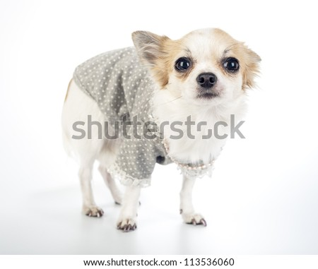Glamour Chihuahua dog wearing fashion dress with pearl necklace standing on white background - stock photo